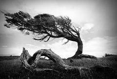 Patagonia-tree-B&W